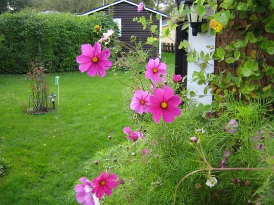 Rosenskära { Jag vet inte om det syns så bra på den här bilden, men solen lyser igenom blommorna på dessa vackra Rosenskära (Cosmos). }