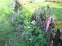 Bild 002 Fortfarande blommar mina Lupiner utanför staketet. 2008-09-28 Bild 002
