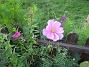 Rosenskära En Rosenskära som letat sig in genom staketet, från utsidan. 2008-09-28 Bild 012