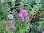 Astrar Lite Astrar som blommar vid Staketet. Dessa satte jag faktiskt i år och de blommar redan! 2008-09-28 Bild 014