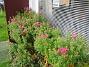 Astrar Ännu en bild av dessa vackra Astrar. 2008-09-28 Bild 046