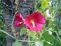 Stockros Detta är en stockros som blommar i September. Jag gillar dessa enkla och storblommiga Stockrosor. 2008-09-28 Bild 051