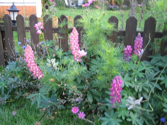 Lupiner { Lupiner, jag älskar denna blomma som grannen kallar ogräs. }