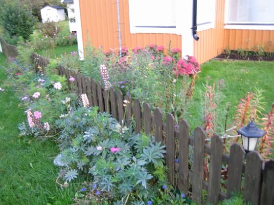 Lupiner { Mera Lupiner. Tanken är att de skall täcka staketet från utsidan - då slipper jag måla om det! }
