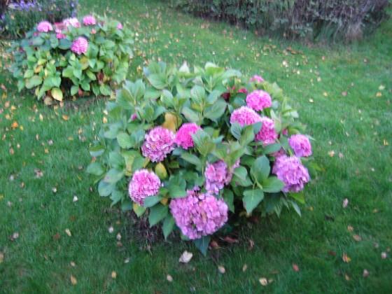 Hortensia { Mina Hortensior kom igång sent men nu blommar de. Hoppas de kommer tidigare nästa år så de hinner bli lite större, nu trängs de nästan med sig själv inne i buren. }