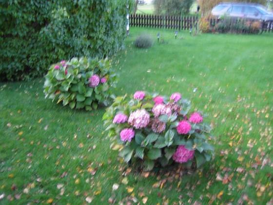 Hortensia { Hortensiorna sedda från det handra hållet (varför kan jag aldrig hålla kameran stilla?). }
