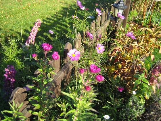 Astrar och Rosenskära { Rosenskäran sitter på utsidan men har letat sig igenom staketet. Astrarna är nya för i år - jag hade inte väntat mej att de skulle blomma redan första året. }