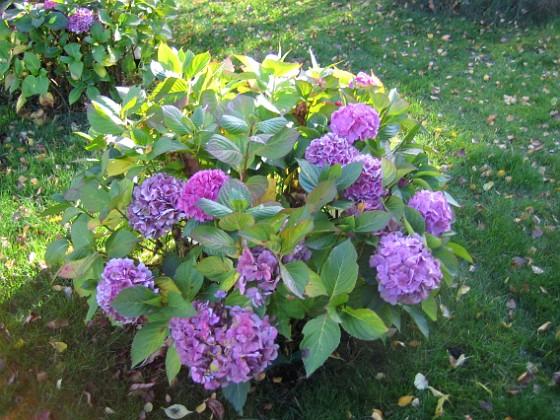 Hortensia { Hortensiorna i närbild. }