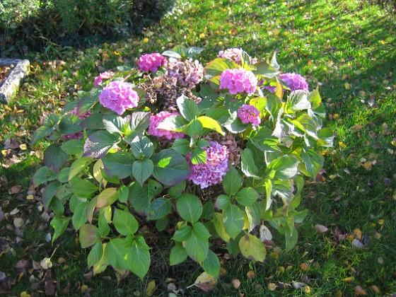 Hortensia { Hortensior i närbild. }