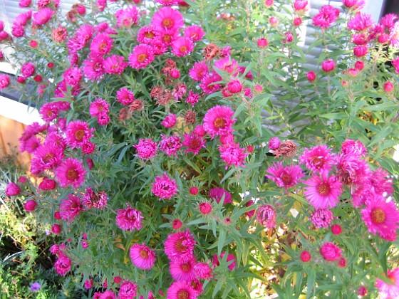 Luktaster { Luktaster i långa banor, men alla dessa blommor i bilden kommer från en enda planta. }