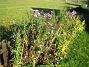 Astrar Astrar vid staketet. 2008-10-19 023