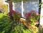 Altanen Luktaster vid Altanen. Alla dessa blommor kommer från bara tre plantor. Nästar år skall jag ta sticklingar och sätta ett par till så att det täcker hela väggen. 2008-10-19 047