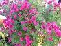 Luktaster Luktaster i långa banor, men alla dessa blommor i bilden kommer från en enda planta. 2008-10-19 053