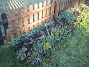 Staket, höger Det som syns här är främst Julros och Solhatt. Irisar sticker upp mellan bladen. 2008-12-21 020
