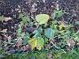Solhatt Jag skall nästa år sätta nya Solhattar. Jag har hittat en sort på Impecta - blandade färger! 2008-12-21 021