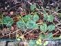 Cyklamen Det blev inga blommor på mina Cyklamen i år. 2008-12-21 033