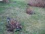 Hortensia  2008-12-21 037