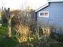 Fjärilsbuskar  2008-12-21 042