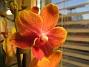 Orkide ´Det här var en häftig färg tycker jag. 2008-12-29 IMG_0008