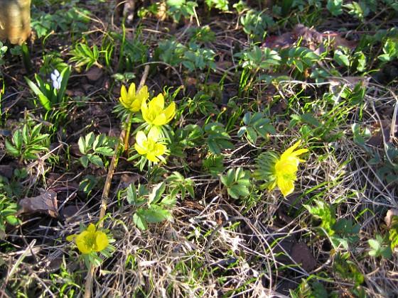 Vintergäck &nbsp 2009-04-04 021 Granudden Färjestaden Öland