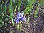 Iris  2009-04-04 025