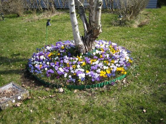 Krokus  2009-04-05 026 Granudden Färjestaden Öland