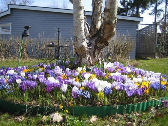 Krokus &nbsp 2009-04-05 027 Granudden Färjestaden Öland
