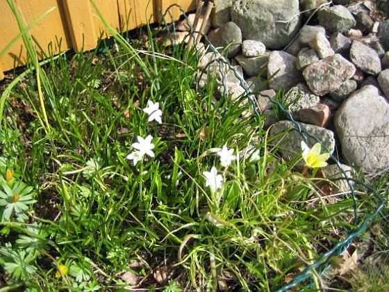 Vårstjärna &nbsp 2009-04-05 067 Granudden Färjestaden Öland