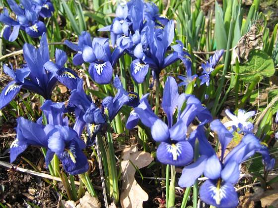 Iris &nbsp 2009-04-05 083 Granudden Färjestaden Öland