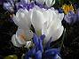 Krokus  2009-04-05 031
