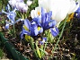 Iris  2009-04-05 038
