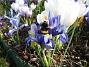 Iris  2009-04-05 040