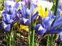 Iris  2009-04-05 042