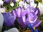Krokus  2009-04-05 045