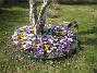 Krokus  2009-04-05 066