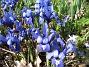 Iris  2009-04-05 078