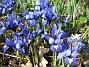 Iris  2009-04-05 084
