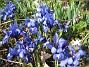 Iris  2009-04-05 085