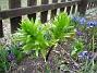 Fritilaria Imperialis  2009-04-05 097