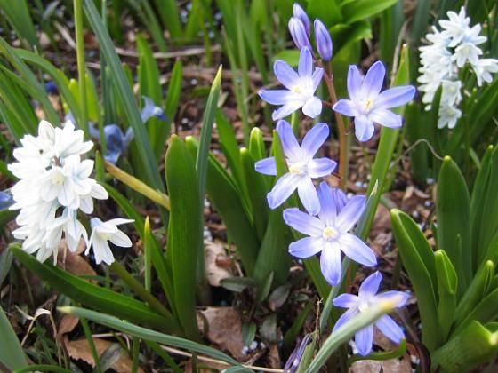 Vårstjärna - Chionodoxa Forbesii &nbsp 2009-04-11 142 Granudden Färjestaden Öland