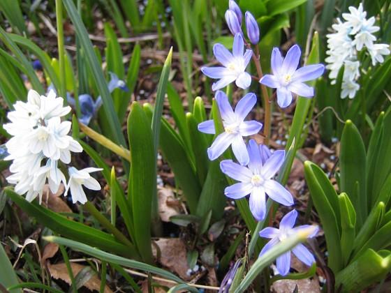 Vårstjärna - Chionodoxa Forbesii &nbsp 2009-04-11 144 Granudden Färjestaden Öland