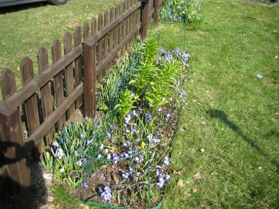 Staketet Här syns det tydligt, hur jag satt upp ett trädgårdsstaket mitt i rabatten! Det är för att Narcisserna inte skall lägga sig ner över de övriga växterna.&nbsp 2009-04-11 170 Granudden Färjestaden Öland