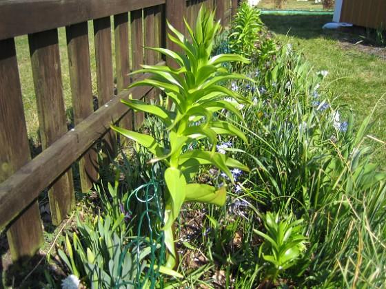 Kejsarkrona - Fritilaria Imperialis Jag hade lite otur (eller klantade mej), när jag skulle sätta upp staketet. Jag var tvungen att böja undan den högsta Kejsarkronan en aning. Då hördes - knak. Suck. Nåväl den kanske inte är helt av, och är den det så lär den väl komma tillbaka nästa år. Synd bara på dessa vackra blommor - jag har inte så många.&nbsp 2009-04-11 172 Granudden Färjestaden Öland