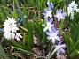 Vårstjärna - Chionodoxa Forbesii  2009-04-11 143