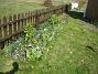 Här syns det tydligt, hur jag satt upp ett trädgårdsstaket mitt i rabatten! Det är för att Narcisserna inte skall lägga sig ner över de övriga växterna. (2009-04-11 171)