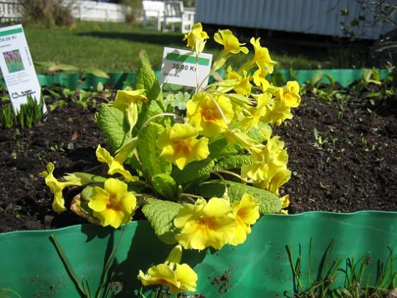 Jordviva Primula Vulgaris&nbsp 2009-04-29 036 Granudden Färjestaden Öland