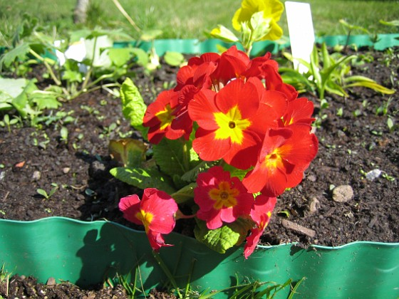 Lundviva Primula elatior mixture&nbsp 2009-04-29 037 Granudden Färjestaden Öland