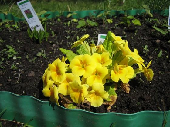 Jordviva Primula Vulgaris, gul&nbsp 2009-04-29 040 Granudden Färjestaden Öland