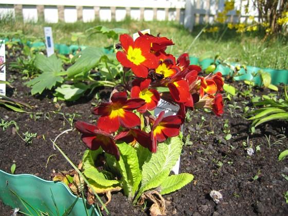 Lundviva Primula elatior mixture&nbsp 2009-04-29 041 Granudden Färjestaden Öland