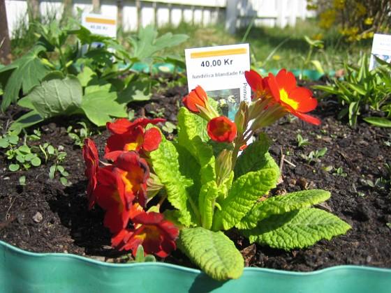 Lundviva Primula elatior mixture 2009-04-29 042 Granudden Färjestaden Öland